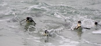Swimming  African penguins (Spheniscus demersus) Stock Photos