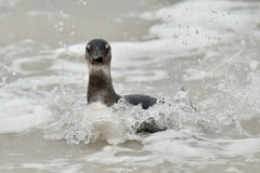 Swimming African penguins (spheniscus demersus) Royalty Free Stock Photography