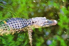 Swimming Alligator Stock Photo