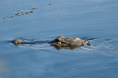Swimming Alligator Close-up Royalty Free Stock Photos