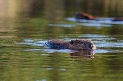 Swimming american beavers Stock Photos