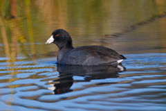 Swimming American Coot Stock Photography