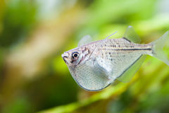 Swimming aquarium fish. Gasteropelecus sternicla. unusual type of fishes Stock Photos