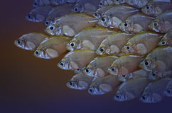 Swimming Asian glassfish herd. In the dark water Stock Photos