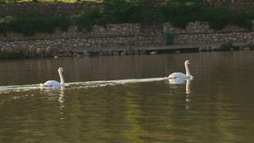 Swimming Away. Two swans swimming away from the camera stock footage