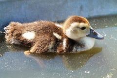 Swimming Baby Duck Stock Image