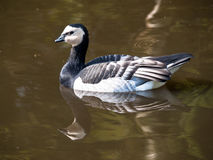Swimming Barnacle Goose Stock Images