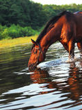 Swimming bay horse Stock Images