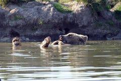 Swimming bear. Bear (Ursus arctos) swimmnig in water stock image