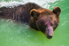 Swimming bear Stock Images