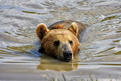 Swimming Bear Stock Photos