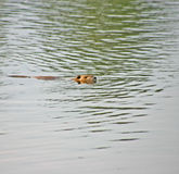 Swimming Beaver Royalty Free Stock Images