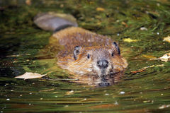 Swimming beaver Royalty Free Stock Image