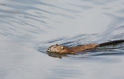 Swimming beaver Royalty Free Stock Photo