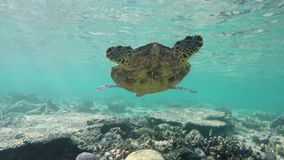Swimming behind a turtle stock video footage