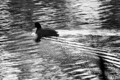 Swimming Bird. Bird swimming along in lake in the early morning light Stock Photos