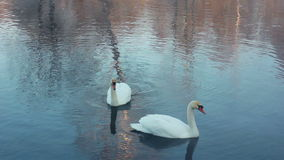 Swimming birds on river. Swan cleaning feather. White swans swimming in lake. Swans on water surface. Swans on pond. Wildlife. White swans on water. Swan stock footage