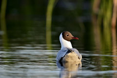 Swimming Black-headed Gull (Larus ridibundus) close up. Royalty Free Stock Images