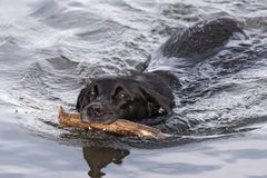 Swimming black labrador retriever with big stick in the mouth Stock Photography