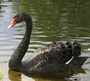 Swimming a black swan Royalty Free Stock Photo
