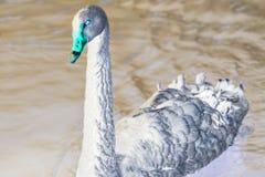 Swimming a black swan, Saint-Petersburg, Russian Federation. Swimming a black swan, Saint-Petersburg, Russian Federation stock image