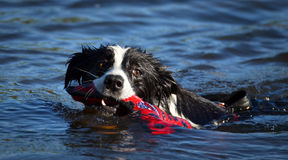 Swimming border collie Stock Photography