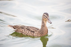 Swimming Brown Duck Close up. Image showing a swimming brown duck on the lake Royalty Free Stock Photos