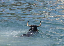 Swimming Bull. Bull swimming in the sea. Very unusual image taken during a festival in the Costa Blanca of Spain Royalty Free Stock Images
