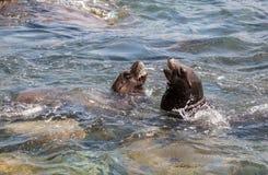 Swimming California sea lion Zalophus californianus. In the ocean at La Jolla Cove in Southern California Stock Photography