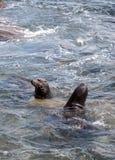 Swimming California sea lion Zalophus californianus Royalty Free Stock Photo