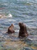 Swimming California sea lion Zalophus californianus. In the ocean at La Jolla Cove in Southern California Stock Images