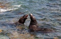 Swimming California sea lion Zalophus californianus. In the ocean at La Jolla Cove in Southern California Royalty Free Stock Images