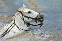Swimming Camargue horses. With bridle in the water royalty free stock image