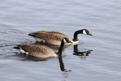 Swimming Canada Geese royalty free stock photography