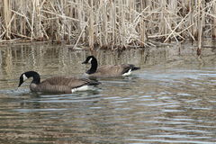 Swimming Canada Geese. These are swimming Canada geese swimming in the lake Stock Image