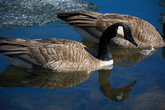 Swimming Canada Geese royalty free stock photo