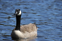 Swimming Canada Goose Stock Photos