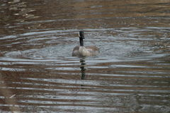 Swimming Canada Goose. This is a Canada goose swimming in the lake Royalty Free Stock Photo