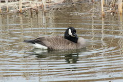 Swimming Canada Goose. This is a Canada Goose swimming in the lake Royalty Free Stock Photography