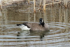 Swimming Canada Goose Stock Image