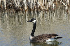 Swimming Canada Goose. This is a Canada Goose swimming in the lake Stock Photography