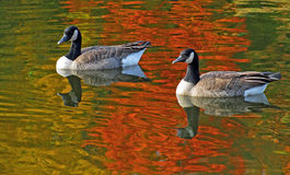 Swimming Canadian Geese Stock Photos