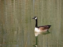 Swimming Canadian Goose. Single Canadian Goose Stock Photography