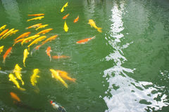 Swimming carp Stock Image