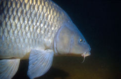 swimming carp Stock Photography