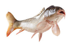 Swimming carp fish, bottom view isolated on white background. Swimming common carp fish with open mouth. Bottom view isolated on white background royalty free stock photography