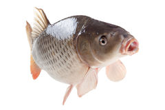 Swimming carp fish isolated on white background. Swimming common carp fish with open mouth isolated on white background Stock Photography