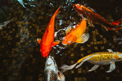 Swimming of carp or Koi fish in the pool Royalty Free Stock Photos