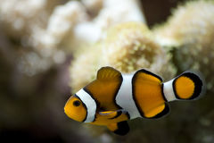Swimming Clownfish Royalty Free Stock Images
