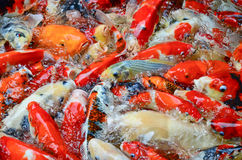 The swimming colorful carps Stock Photography